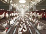 Chicks illustration